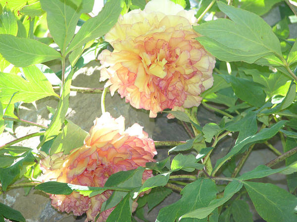 Tree Peony Art Print featuring the photograph Tree Peony by Peter Williams