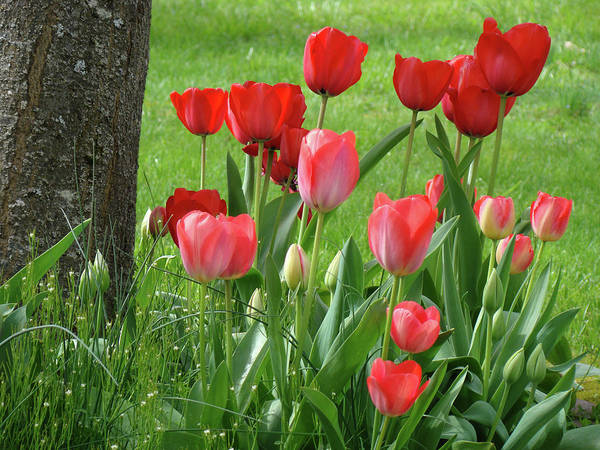 �tulips Artwork� Art Print featuring the photograph Tulips Flowers Art Prints Spring Tulip Flower Artwork Nature Art by Baslee Troutman