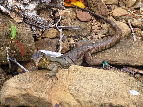 Lizard Art Print featuring the photograph Turquoise Feet by Arry Murphey