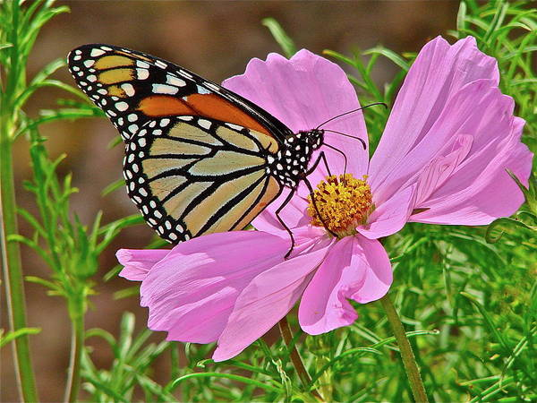 Butterfly Art Print featuring the photograph Two Beauties by Diana Hatcher