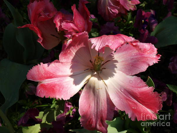 Pink Art Print featuring the photograph Under The Shadow by Judy Waller