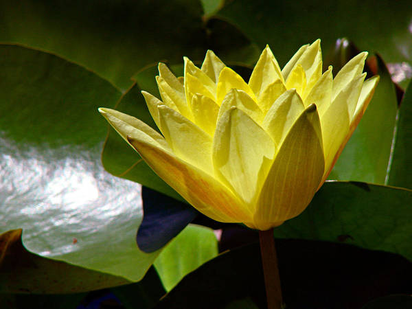 Water Lily Art Print featuring the photograph Water Lily Fc by Diana Douglass