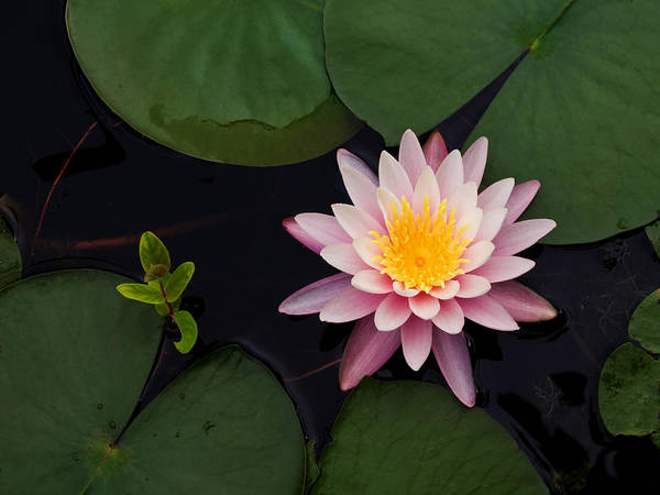 Water Art Print featuring the photograph Waterlily - Study In Pink by Jim DeLillo