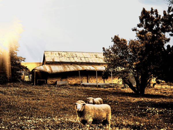 Sheep Art Print featuring the photograph We Live Here.... by Douglas Barnard