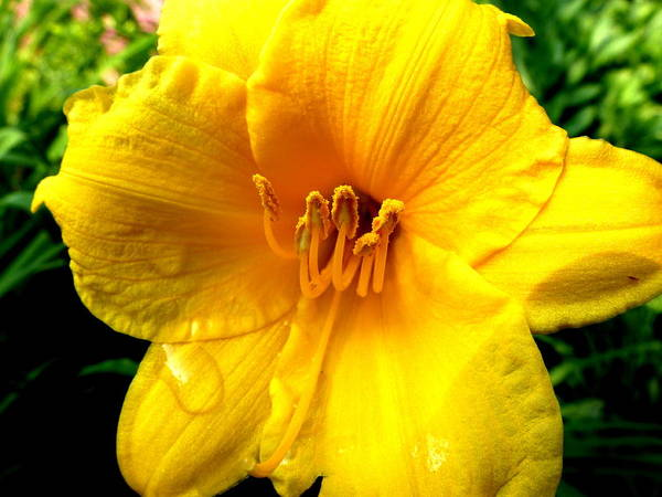 Wet Daylily Art Print featuring the photograph Wet Daylily by Beth Akerman