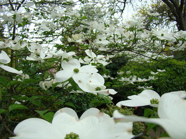 Dogwood Art Print featuring the photograph White Dogwood Flowers 6 Dogwood Tree Flowers Art Prints Baslee Troutman by Baslee Troutman
