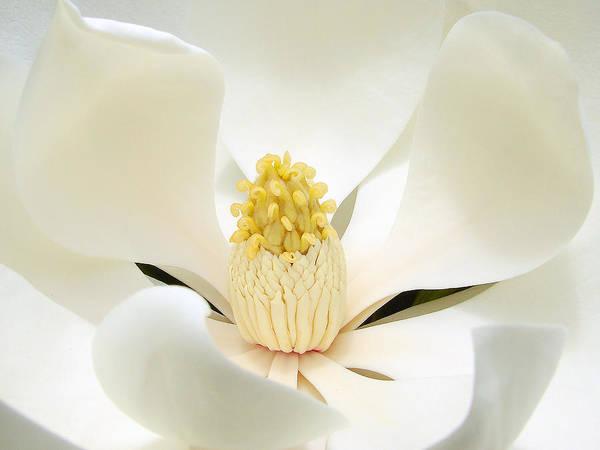 Flower Art Print featuring the photograph White Light by Blair Wainman