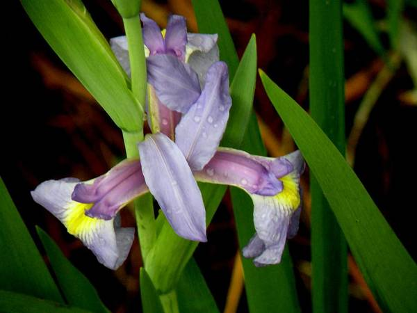 Flowers Art Print featuring the photograph Wild Iris by Rosalie Scanlon