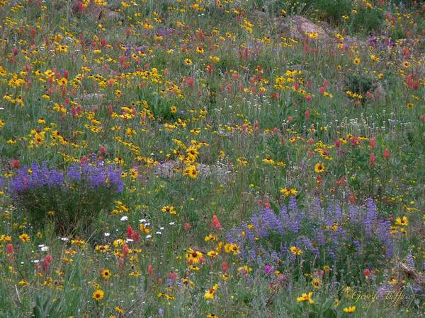 Wildflowers Colorful Meadow Nature Colorado Flowers Art Print featuring the photograph Wildflowers Abundance by George Tuffy
