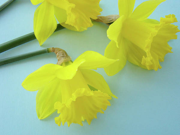 �daffodils Artwork� Art Print featuring the photograph Yellow Daffodils Artwork Spring Flowers Art Prints Nature Floral Art by Baslee Troutman