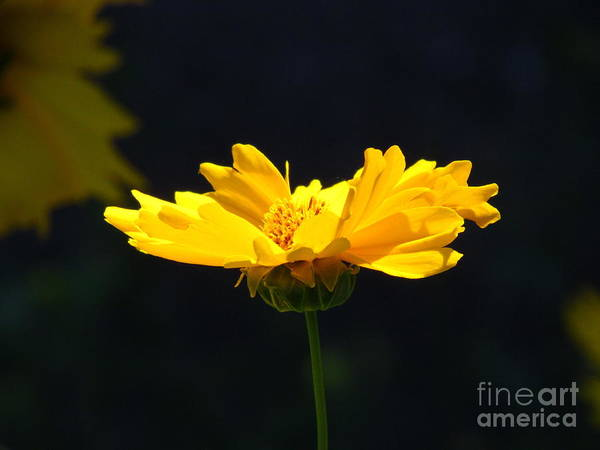 Ontario Art Print featuring the photograph Yellow Flowers2 by Donica Abbinett