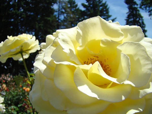 Rose Art Print featuring the photograph Yellow Rose Garden Landscape 3 Roses Art Prints Baslee Troutman by Baslee Troutman