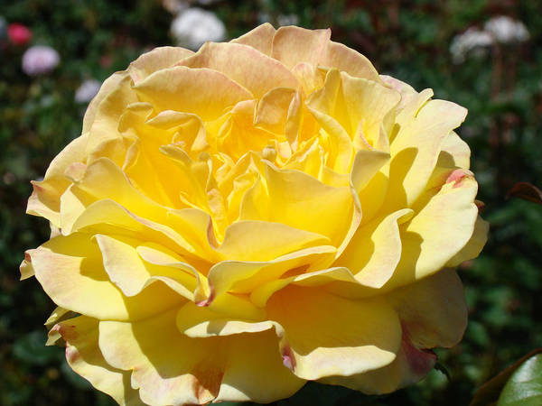 Rose Art Print featuring the photograph Yellow Rose Sunlit Summer Roses Flowers Art Prints Baslee Troutman by Baslee Troutman