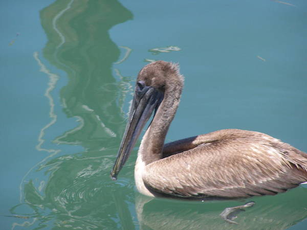 Pelicans Art Print featuring the photograph Young Pelican by Jim Cooper