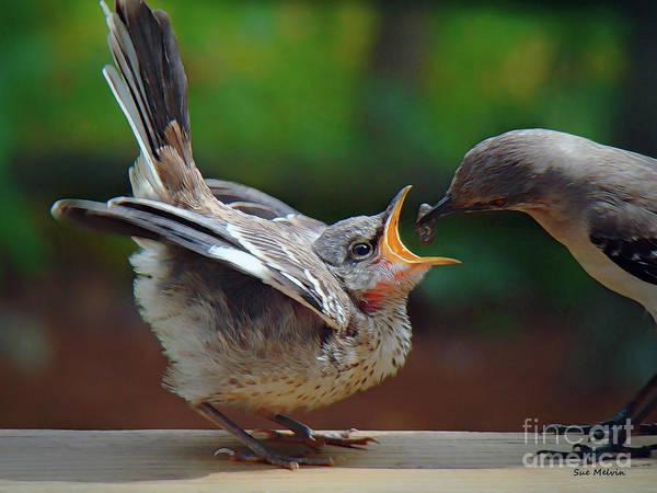 What's Chirping?   Northern Mockingbird  Newborn Mockingbird