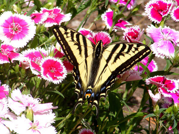 Butterfly Art Print featuring the photograph Beautyfly In Pink by Gail Salitui
