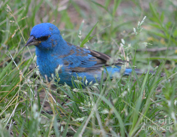 Male Indigo Bunting Prints Art Print featuring the photograph Male Indigo Bunting by Ruth Housley