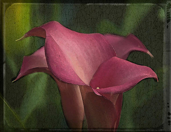 Art Print featuring the photograph Calla Lily by George Novello