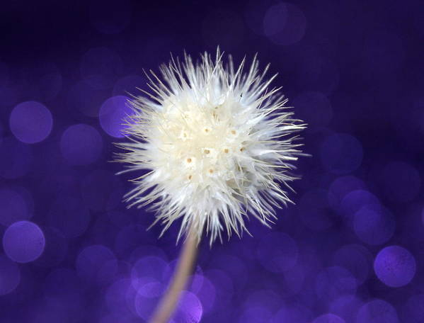 Dandelion Art Print featuring the photograph Free by Krissy Katsimbras