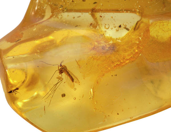 Colombia Art Print featuring the photograph Insects In Fossil Amber by Science Stock Photography