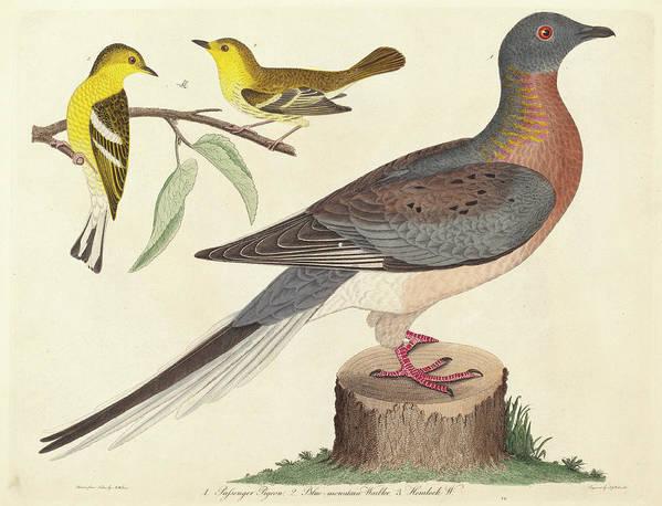 John Art Print featuring the drawing John G. Warnicke After Alexander Wilson, Passenger Pigeon by Quint Lox