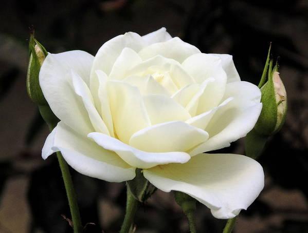 La Rosa Blanca Art Print By Randal Higby
