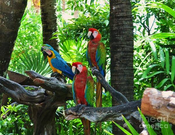 Macaws Art Print featuring the photograph Mates by Colleen Gerlach