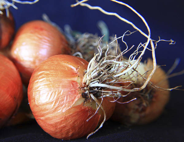 Fun Art Print featuring the photograph Onion Roots by David Kehrli