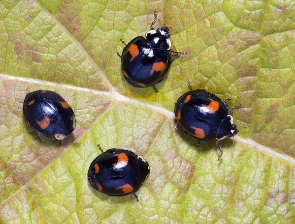 Harmonia Axyridis Conspicua Art Print featuring the photograph Harlequin Ladybirds by Sheila Terry
