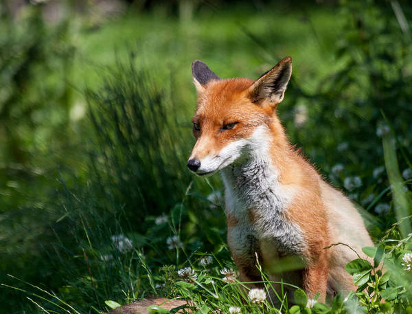 British Wildlife Centre Art Print featuring the photograph A British Red Fox by Dawn OConnor