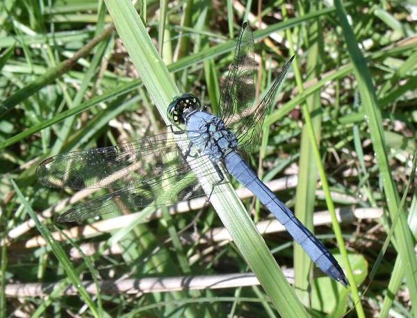 Dragonfly Art Print featuring the photograph Blue Dragonfly by Crystal Williams