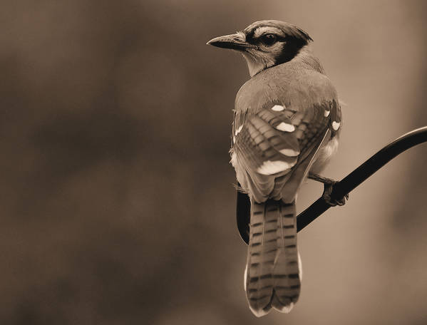 Blue Jay Art Print featuring the photograph Blue Jay by Todd Hostetter