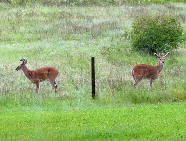 Deer Art Print featuring the photograph Bookend Twin Bucks by Will Borden