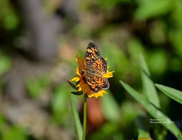 Butterfly Art Print featuring the photograph Butterfly Gold by Maria Urso