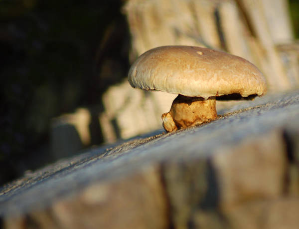 Mushroom Art Print featuring the photograph Hanging On by Wade Clark