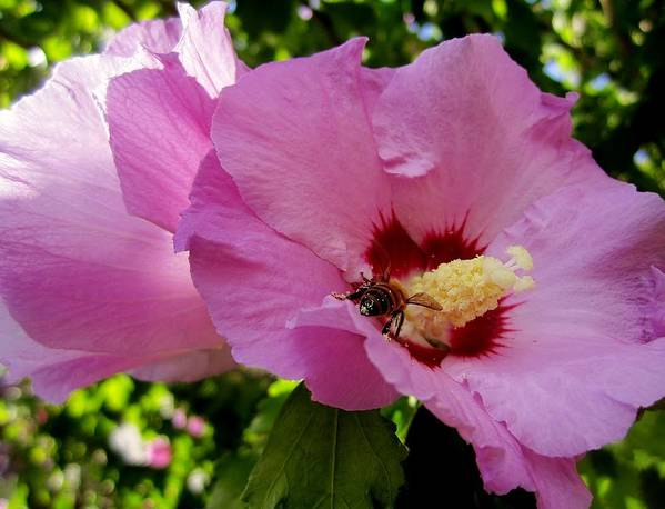 Hibiscus Art Print featuring the photograph Nectar by Ami Tirana