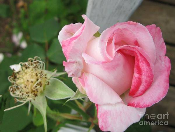Rose Art Print featuring the photograph One Arriving And One Leaving by Sandra Maddox