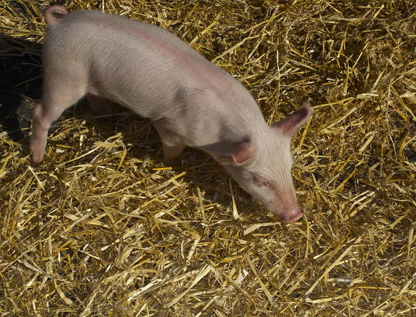 Pig. Piglet. Hoof. Straw. Beacon.snout. Ears. Pink. Tail. Nature. Outdoors. Farm. Animal. Wildlife. Ham. Cooking. Food. Feeding. Roast Pig. Art Print featuring the photograph Pig. Yummy Roasted by Michael Clarke JP