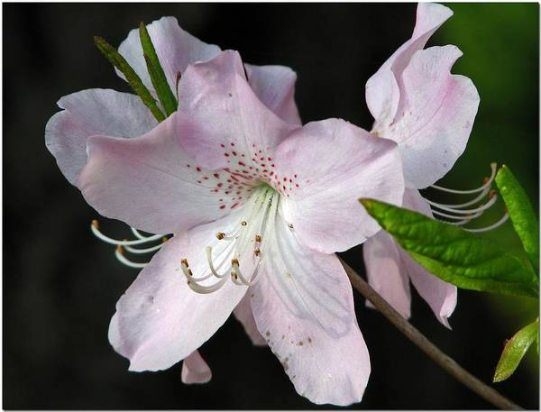 Rhododendron Art Print featuring the photograph r. Schlippenbachii by Chris Anderson