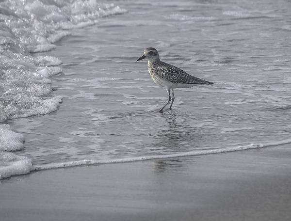 Sandpiper Art Print featuring the photograph Sandpiper On The Shoreline by Andrea OConnell