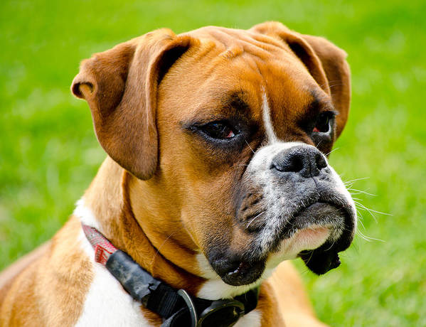 Boxer Dog Art Print featuring the photograph Sidney The Boxer by Chris Thaxter