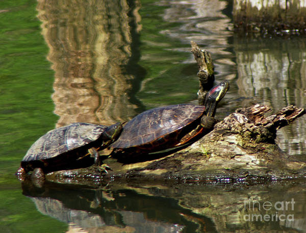 Turtles Art Print featuring the photograph The Turtles by Carolyn Fox