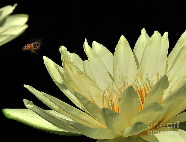 Water Lilies Art Print featuring the photograph water lily 3 Yellow Water Lily with Bee by Terri Winkler