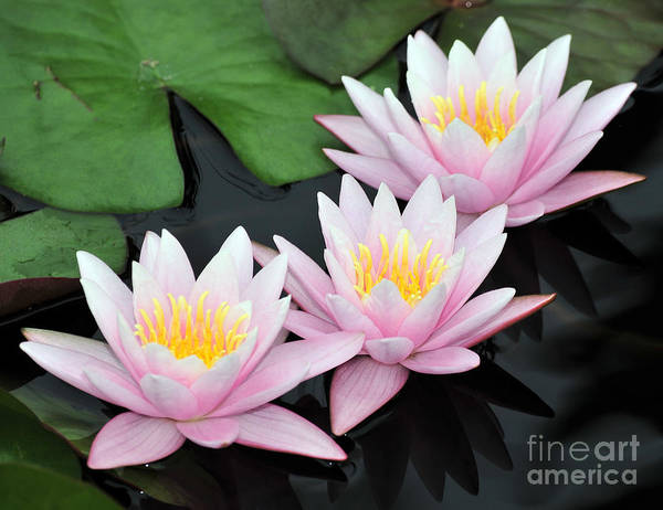 Water Lilies Art Print featuring the photograph water lily 88 Sunny Pink Water Lily with Reflection by Terri Winkler