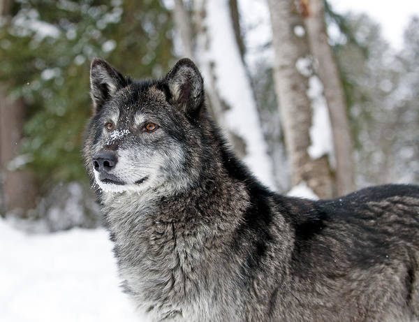 Wolf Art Print featuring the photograph Wolf Portrait by Scott Read
