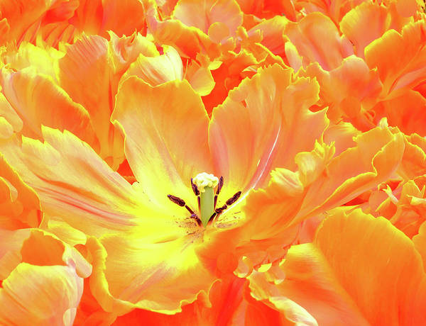 Tulip Art Print featuring the photograph A Tulip Fully Open by Martin Bowra