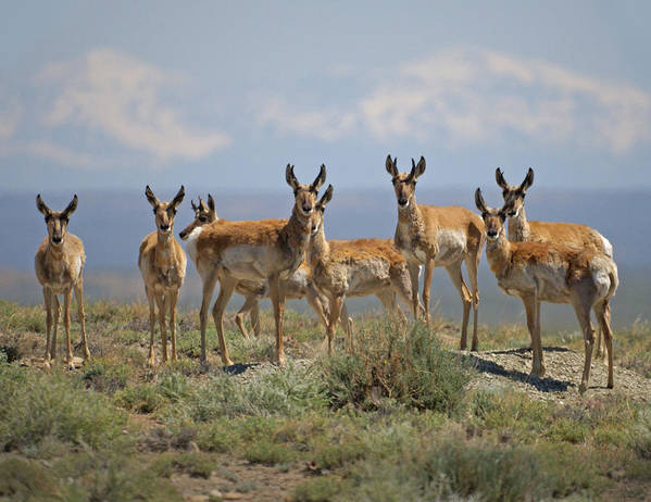 Antelope Art Print featuring the photograph Antelope by Heather Coen