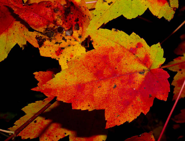 Nature Art Print featuring the photograph Autumn Leaves by Robert Morin