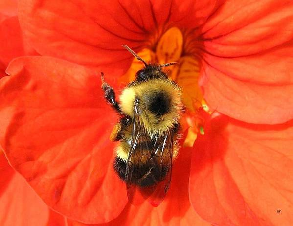 Bee Art Print featuring the photograph Bee And Nasturtium by Will Borden