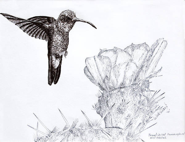 Wildlife Art Print featuring the drawing Broadbilled Hummingbird by Wade Clark